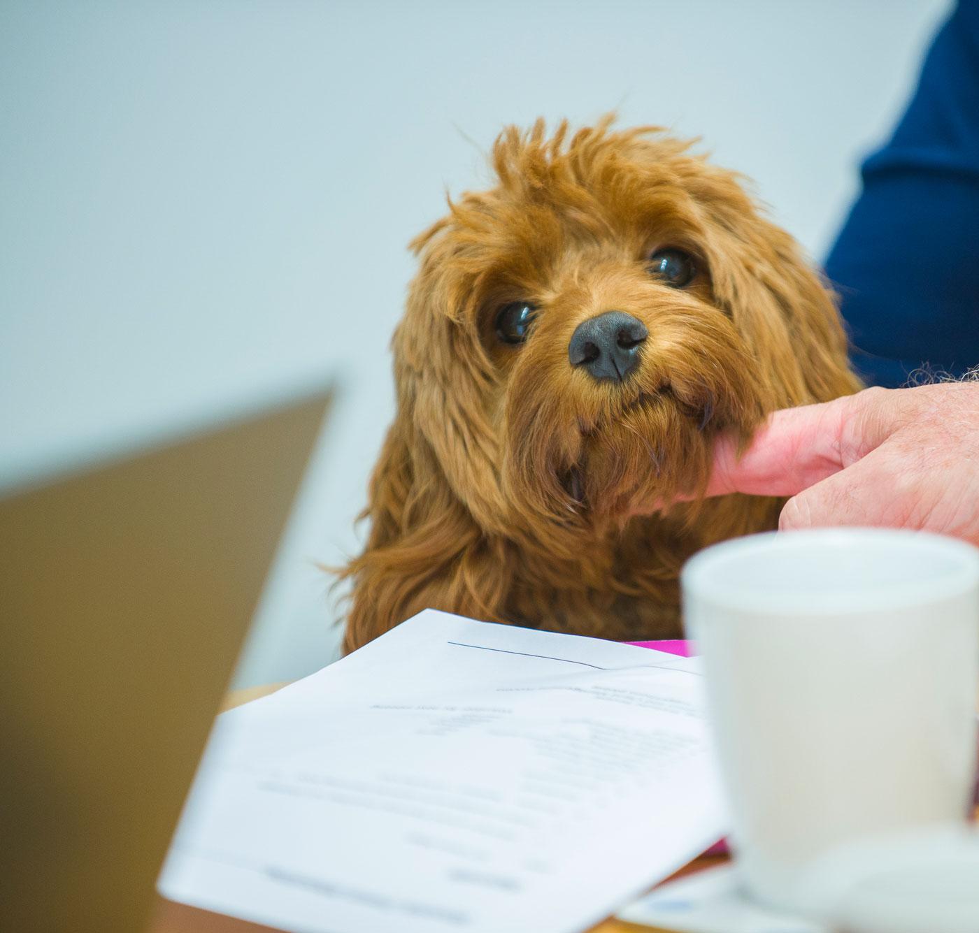 Dog sat at office desk